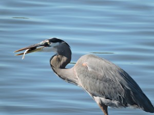3-Great Blue Heron with Fish