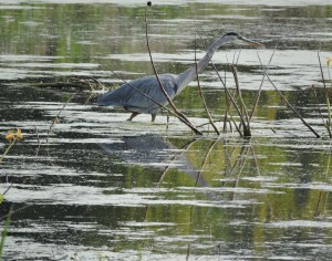 Great Blue Heron of Montezuma