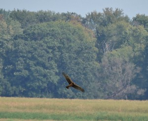 Northern Harrier of Montezuma