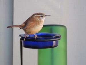 Wren on Worms