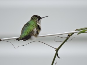 Hummer on a Wire