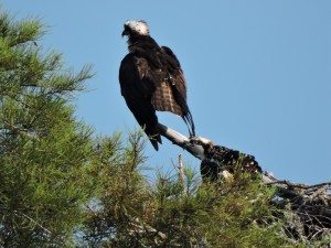 Osprey Adult and Chick - Waccamaw R