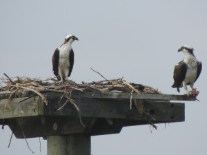 Osprey Pair Looking at Each Other