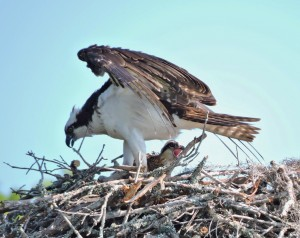 Osprey Parent Shading Chick 2 - Waccamaw R