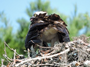 Osprey Parent Shading Chick - Waccamaw R