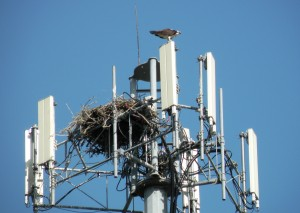 Osprey and Nest on Cell Tower