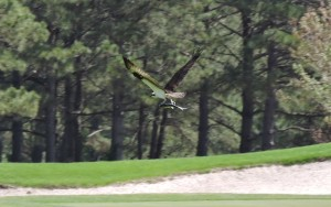 Osprey with Fish over 17