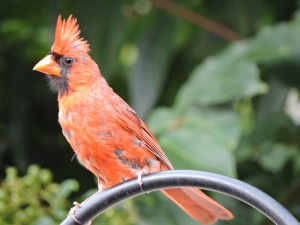 Cardinal Imitating a Tropical Bird