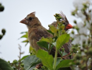 Mother and Child Northern Cardinal in Crepe Myrtle