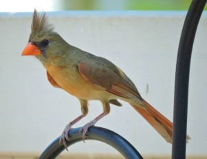 Northern Cardinal Female 2