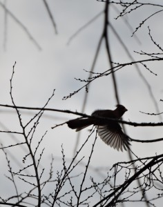 Northern Cardinal Taking Off in Silhouette