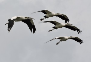 Wood Stork Quad in Flight