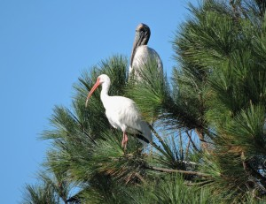 Wood Stork and White Ibis