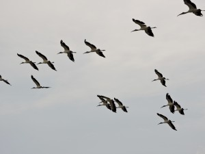 Wood Storks Flying Over 1
