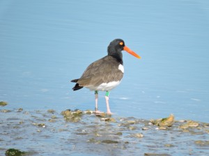American Oystercatcher Banded