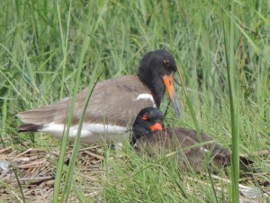 American Oystercatcher Juvie Looking Over Parent