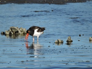 American Oystercatcher with a Snack