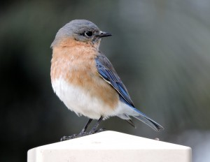 Eastern Bluebird Female 1