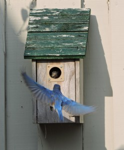 Eastern Bluebird Flying to Nestling
