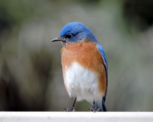 Eastern Bluebird Male 1