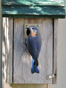Eastern Bluebird Male 2
