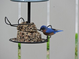 Eastern Bluebird Male Eating Seeds