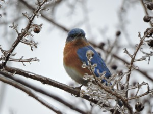 Eastern Bluebird Male on Icy Crepe Myrtle