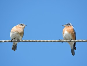 Eastern Bluebird Pair 3