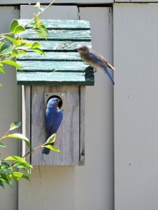 Eastern Bluebird Pair 4