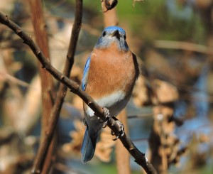 Eastern Bluebird in Crepe Myrtle - BY