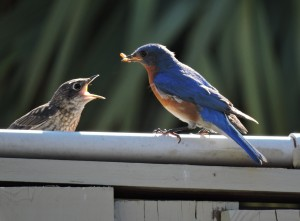 Eastern Bluebird male feeding fledgling