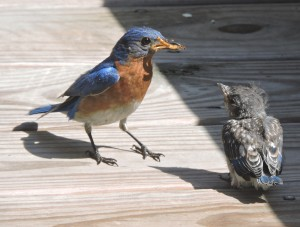 Eastern Bluebird male feeding new fledgling