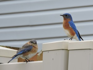 Eastern Bluebird pair 1