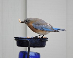 Eastern Bluebird with Meal Worm