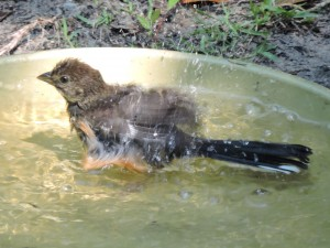 American Robin Bathing