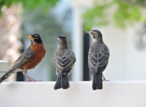 American Robin and 2 Juvies