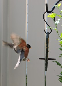 American Robin heading for PB