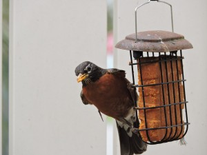 American Robin on Suet