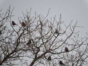 American Robins and a Waxwing
