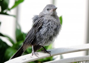 Gray Catbird Fledgling 1