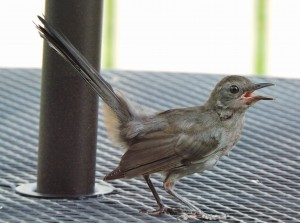 Gray Catbird Fledgling 2