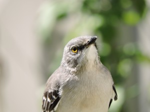 Mockingbird Eye
