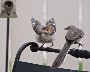 Mockingbird Juvie Getting Fed