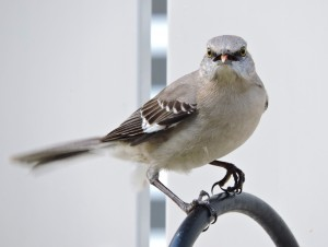 Mockingbird Sticking Its Tongue Out