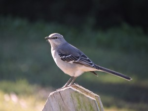 Northern Mockingbird on Post