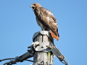 Red-tailed Hawk Female Vocalizing