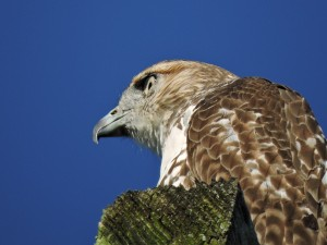 Red-tailed Hawk Juvenile 1