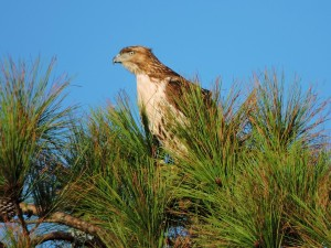Red-tailed Hawk Juvenile 2
