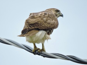 Red-tailed Hawk Juvenile 3