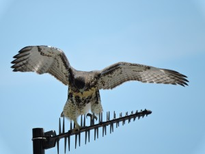 Red-tailed Hawk Juvenile 4